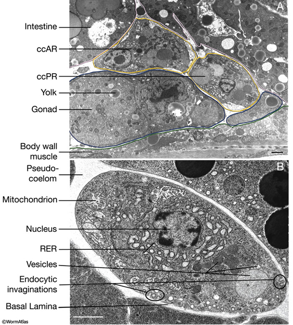 cells organelles through the electron microscope essay