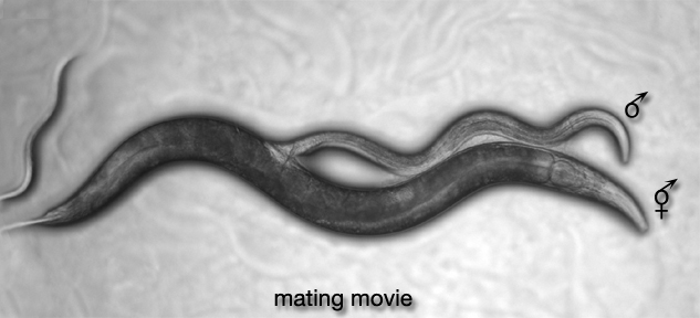 MaleMusMOVIE 1 Mating Movie